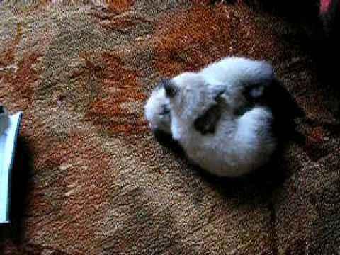 Милые сиамские котята