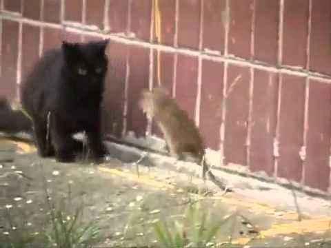 Крыса нападает на группу котэ